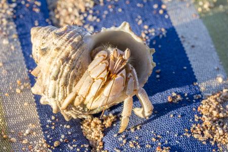 hermit: Mauritius crab Hermit Stock Photo