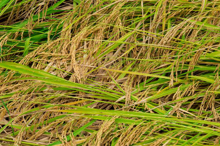 agriculture industry: Rice paddy at Thailand