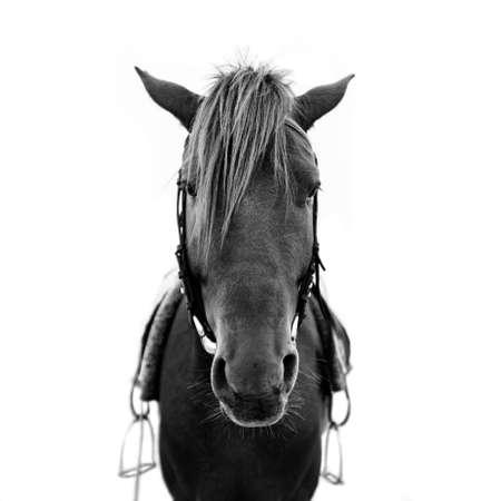 black horse: Cabeza de caballo del caballo marrón