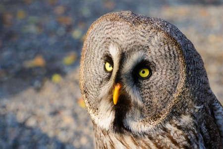 ural owl: Close up of a ural owl