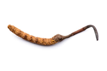 Chinese herb cordyceps sinensis. Isolated on white background. Stok Fotoğraf