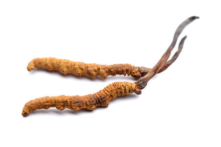 Cordyceps sinesis of Himalaya-goud. Geïsoleerd op witte achtergrond