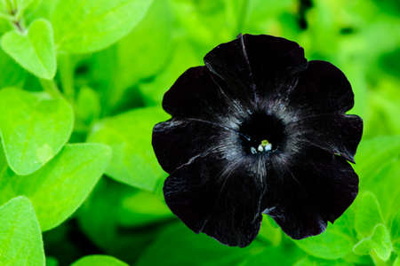 Black velvet petunia flower in garden