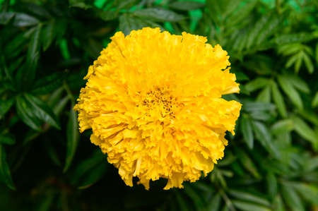 Yellow marigolds flower in garden