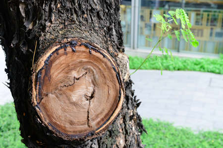 A wound of a trimmed branch on tree Stockfoto