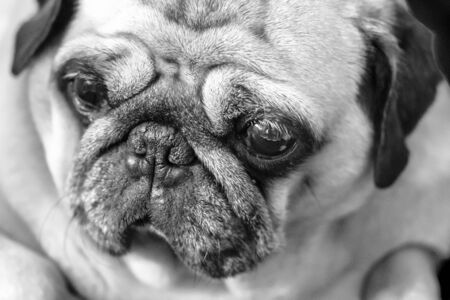 Beautiful, Beauty, Carlino, Close-up, Cute, Dog, Examining, Horizontal, Human Face, Lap Dog, Looking, Piccolo, Pug, Pug-dog, Puppy, Purebred Dog, Sadness, Snout, Staring, Sweet Eyes, Ugliness, Watching, Wrinkled, black and white, mono, Foto de archivo
