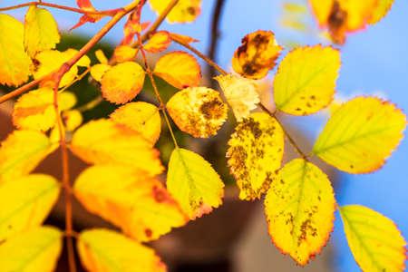 natural fluorescent Autumn leaf Banque d'images