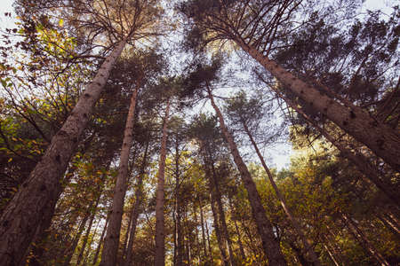 Ligurian forest trees photographed from below