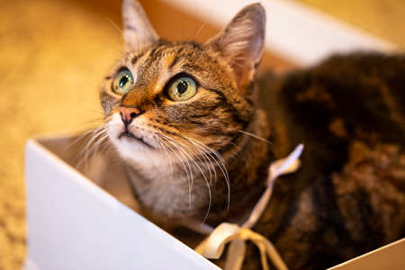 cute cat with golden ribbon in collar rests inside a white box