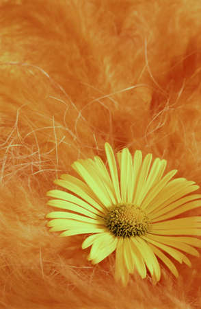 Doronicum orientale yellow blossom with feathers photo