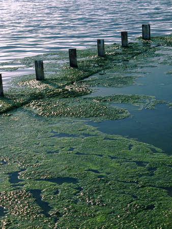 algas verdes: Algas verdes que crecen en la superficie del agua
