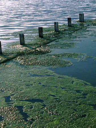 swampland: Green algae growing on the waters surface