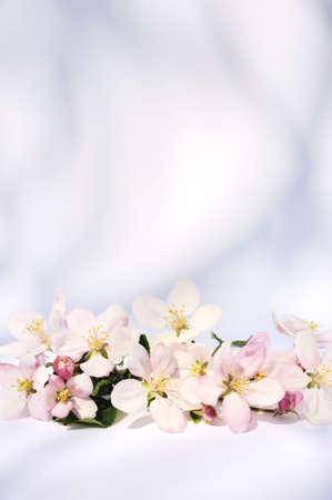 Apple blossoms Stock Photo - 5846459
