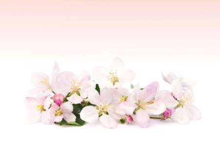 Apple blossoms photo