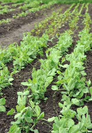 pulses: Green peas growing in planting bed Stock Photo