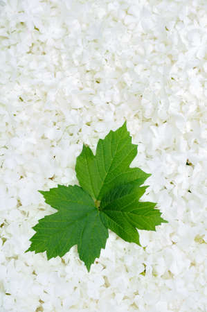 guelder: Guelder rose blossoms and leaves - background