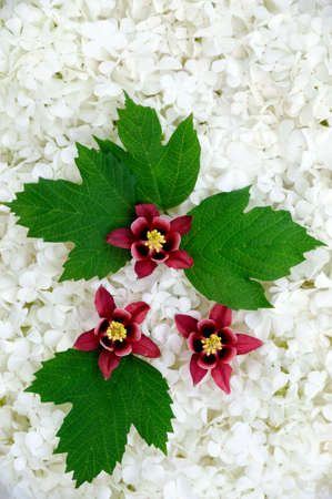 Guelder rose and columbine  blossoms - background photo