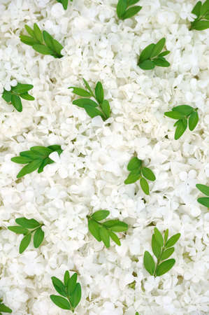 Guelder rose blossoms and myrtle leaves - background Stock Photo - 6293955
