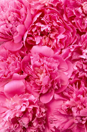Peony flower heads - background photo