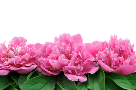 Peony over white background photo