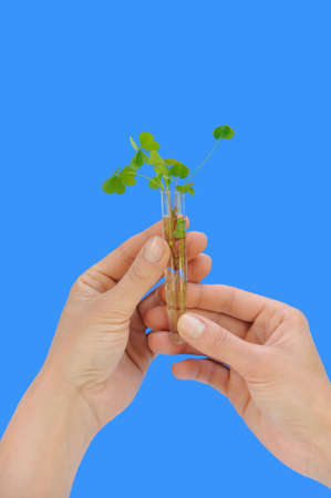 Hands holding tube with fresh  sorel (oxalis) Stock Photo - 6369448