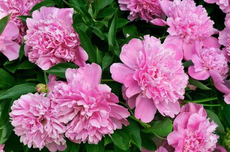 Bouquet di peonie rosa fresche