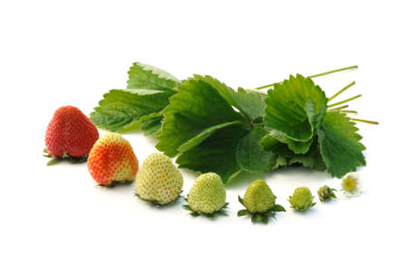 Strawberry growth isolated on white Stock Photo - 6369443