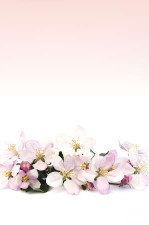 Apple blossoms Stock Photo - 6557182