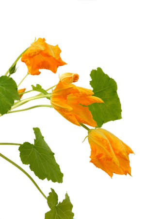 Squash flower and leaves isolated on white photo