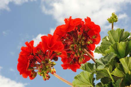 Red garden geranium - Pelargonium over blue sky Archivio Fotografico