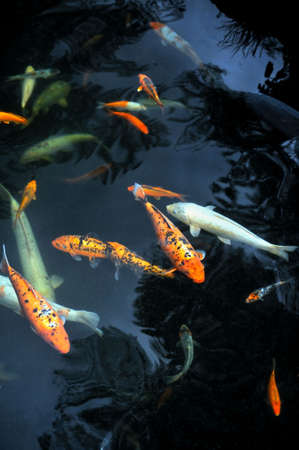 garden pond: Monte Palace Tropical Garden � Koi Carp � Monte, Madeira Stock Photo