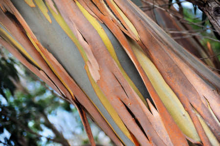 pealing: Eucalyptus, Gum Tree, north of Madeira island,  Portugal