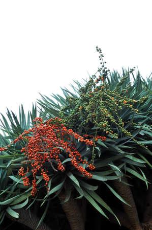Dragon tree,  Dracaena draco - Madeira Stock Photo - 7238866