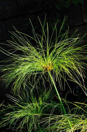 Cyperus papyrus - detail photo