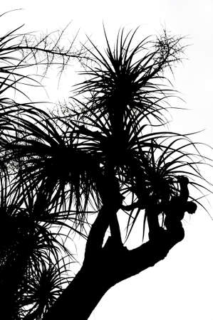 Old Nolina recurvata Hemsl. -  silhouette photo
