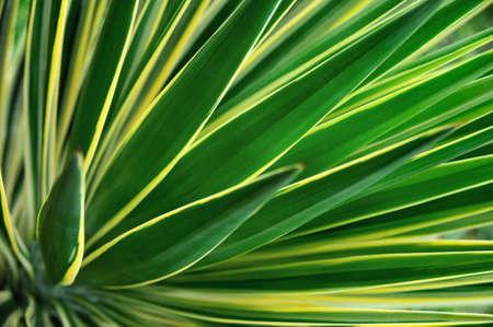 Close up of Yucca photo
