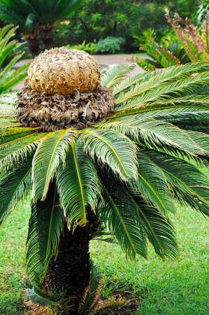 cycad: Cycas revoluta (sago cycad) - botanical garden Funchal, Madeira