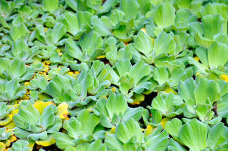 marsh plant: Pistia  (Water cabbage) -  detail - background