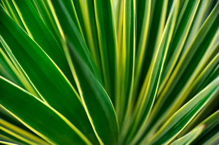 Close up of Yucca - abstract background photo