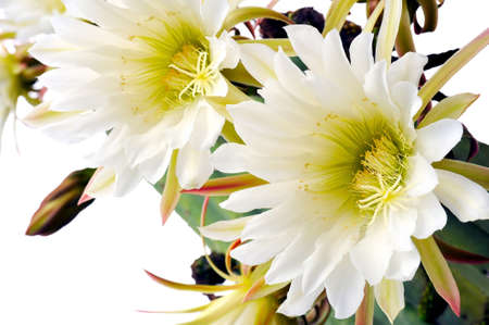 Close up of cactus flowers - Trichocereus scopulicolus photo