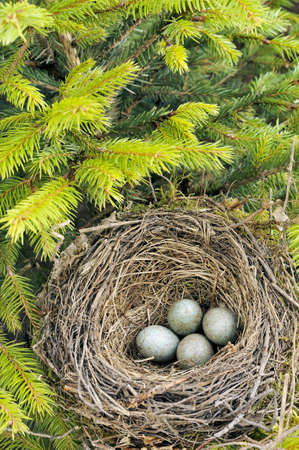 Detail of blackbird eggs in nest photo
