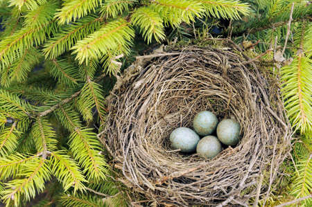 Detail of blackbird eggs in nest photo