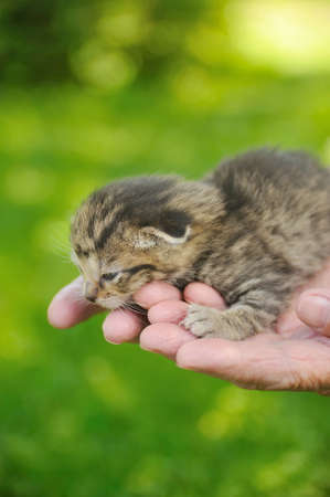 Hands of senior woman  holding little kitten photo