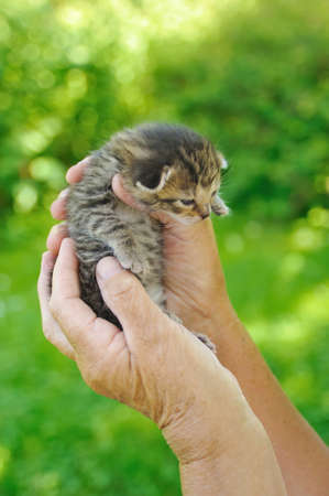 70 75: Hands of senior woman  holding little kitten