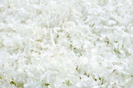 guelder: Guelder rose blossoms - background