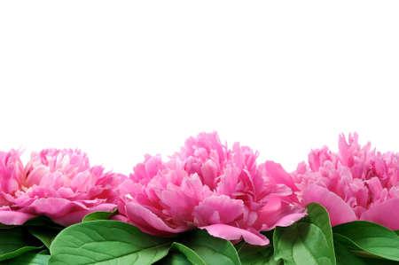 magenta flowers: Peony over white background
