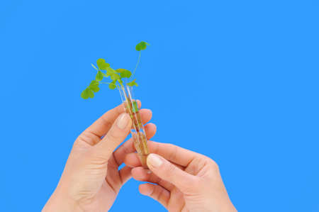 Hands holding tube with fresh  sorel (oxalis) photo