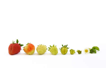 immature: Strawberry growth isolated on white