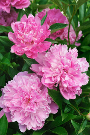 Bouquet of fresh pink peonies photo