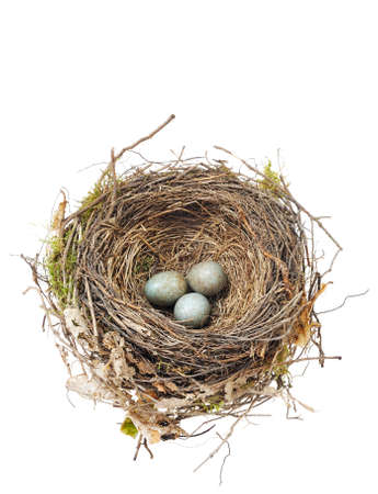Detail of blackbird eggs in nest isolated on white photo